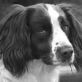 Pops in Grey by Chrissie Barrow - Black & White Animals ( monochrome, springer spaniel, black and white, pet, fur, ears, grey, dog, mono, nose, portrait, eyes, animal )