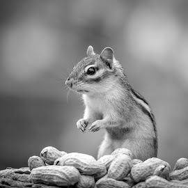 Chippy with peanuts by Debbie Quick - Black & White Animals ( debbie quick, nature, adirondacks, outdoor photography, nature up close, peanuts, natures best shots, debs creative images, new york, cute, national geographic, outdoor magazine, chippy, wildlife photography, outdoors, animal photography, ticonderoga, chipmunk, rodent, animal, wild, nature photography, furry, wildlife )