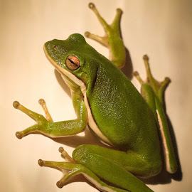 Quite Please by Keith-Lisa Bell Bell - Animals Amphibians ( slick, green, tree frog, amphibian, suction cups )