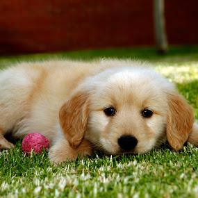 Golden light by Cristobal Garciaferro Rubio - Animals - Dogs Puppies ( puppies, handsome, golden, golden retriever )