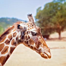 Teenage Female Giraffe  by Laura Drake Enberg - Animals Other