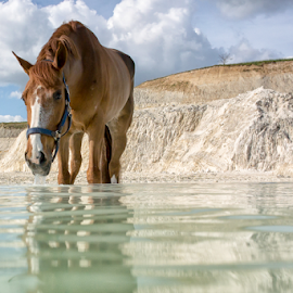 Taste of water by Erik Kunddahl - Animals Horses ( water, equine, sky, riding, horse )