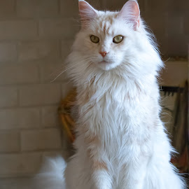 by Kym George - Animals - Cats Portraits ( cats, kitten, pet, maine coon, pets )