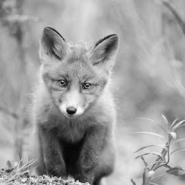 Fox cub by Marius Birkeland - Black & White Animals ( fox, nature, black and white, cub, animal )