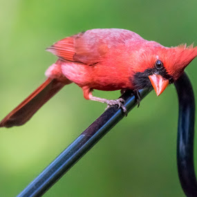 Helllooo!? by Sandy Hogan - Animals Birds ( bird shots, male cardinal, cardinal, wildlife photography, red_bird, bird photography )