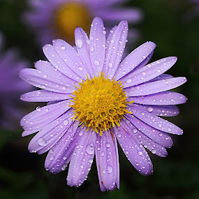 Drops on an aster by Gérard CHATENET - Flowers Single Flower