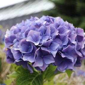 Hortensia by Per Holt Oksen-Larsen - Novices Only Flowers & Plants ( blue, hortensia, a, from, garden )
