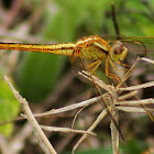 Yellow-sided Skimmer Dragonfly