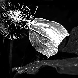White Butterfly by Iva Marinić - Black & White Macro ( macro, nikon d, black background, butterfly, shadows, black and white, leaf, photography, flower )