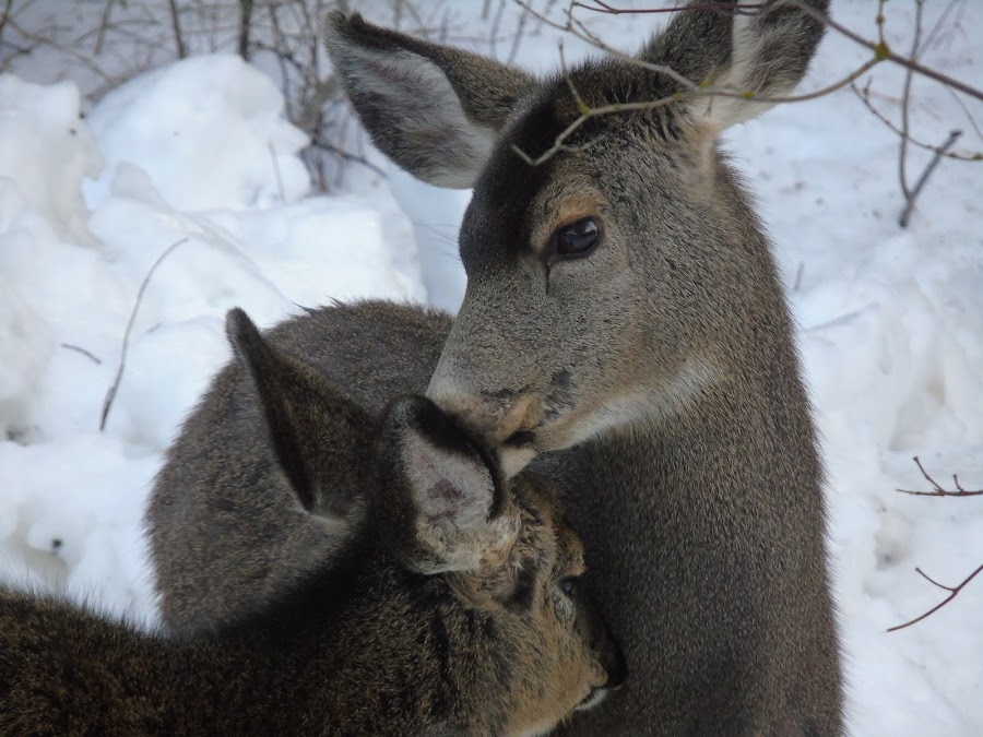 MOTHERS LOVE by Cynthia Dodd - Novices Only Wildlife ( love, animals, nature, mother, wildlife, doe, deer )