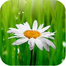 Daisy Flower Wallpapers
