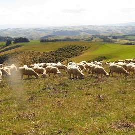 Just Browsing by Russell Benington - Animals Other Mammals ( farm, animals, ewes, sheep, nz )
