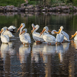Pelican Pod by Joe Chowaniec - Animals Birds ( nature, pelicans, wildlife, birds )