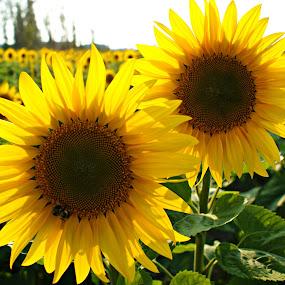 by Terri Mills - Flowers Flower Gardens (  )