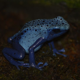 Blue Frog by Missy Moss - Animals Amphibians