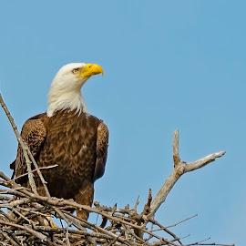 Protecting the Nest by Kimberly Sharp - Uncategorized All Uncategorized ( eagle, nature, tree, nesting, nature and wildlife,  )