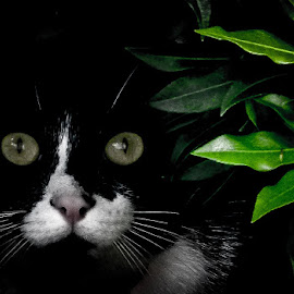 Hiding ready to pounce by Andrew Lancaster - Animals - Cats Playing ( black and white cat, purr, cat, bushes, hiding, whiskers, portrait,  )