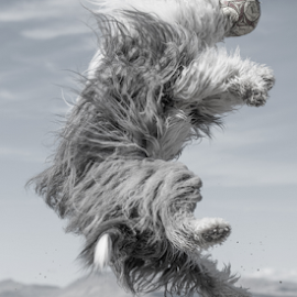 JUMP FOR JOY by Michael  M Sweeney - Animals - Dogs Playing ( joy, old english sheepdog, michael m sweeney, dog )
