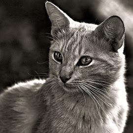 Cat by Pieter J de Villiers - Black & White Animals