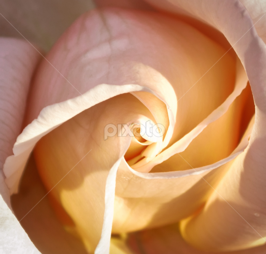 Peach Dreams by Melissa S. Hunt - Nature Up Close Flowers - 2011-2013 ( rose, macro, nature, flowers )