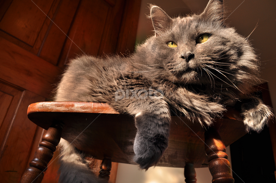 My Star Player by Corinne Noon - Animals - Cats Portraits ( cats, animals, whiskers, gray, portraits )