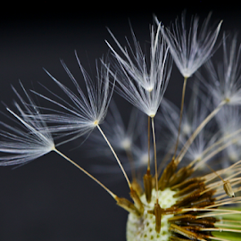 by Dipali S - Nature Up Close Other Natural Objects ( abstract, old, grass, flora, dew, fragility, beauty, dandelions, bokeh, fluffy, nature, droplet, outdoor, meadow, drops, flare, light, floral, flower )