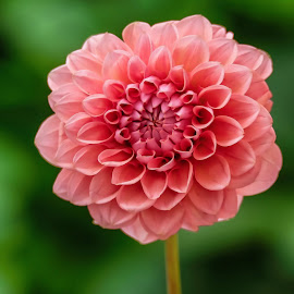 Pink Dahlia by Jim Downey - Flowers Single Flower ( pink, green, dahlia, pattern, petals )