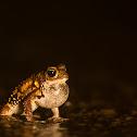 Amboli Toad