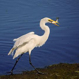 Great egret fishing by Gérard CHATENET - Animals Birds