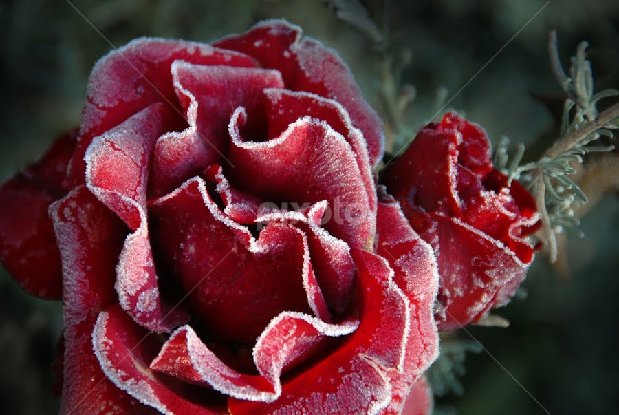 Frozen Rose by Kirsten Morse - Nature Up Close Flowers - 2011-2013 ( rose, macro, red, frost, flower )