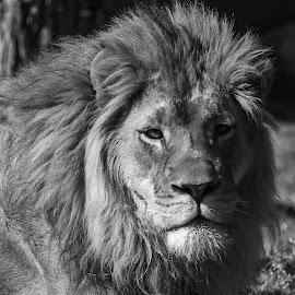 Lion by Cameron Knudsen - Animals Lions, Tigers & Big Cats ( cameron knudsen, knudsen outdoors, lion, knudsen, wildlife,  )
