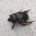 Florida Deep Digger Beetle