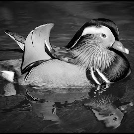 Mandarin Duck by Dave Lipchen - Black & White Animals ( mandarin duck )