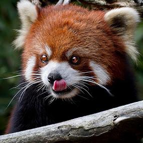 Lick by Cheri McEachin - Animals Other Mammals