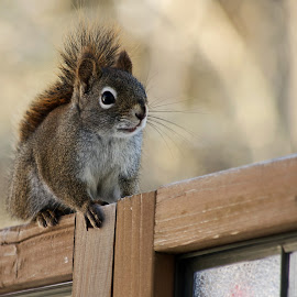 Ready Red Squirrel by Jeff Galbraith - Animals Other Mammals ( screen, wooden, red, furry, cute, rodent, mammal, squirrel, animal )