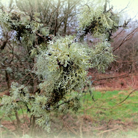 Lichen at Burfa Hill Fort by Caroline Beaumont - Nature Up Close Trees & Bushes ( pale green, green, fresh air, trees, lichen )