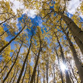 Golden Sunburst Aspens by Brian Warsa - Landscapes Forests ( sunburst, flagstaff, arizona, trees, gold )