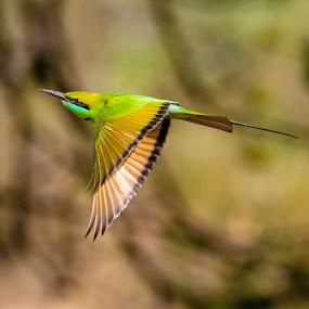 || Green Bee Eater || by Indra Maji - Animals Birds