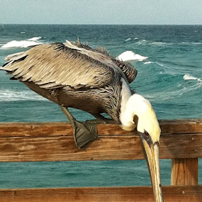 Pelican Landing by Michael Sharp - Animals Birds (  )