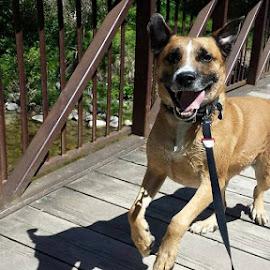 Bridge of happyness  by Anthony Carlo - Animals - Dogs Running ( playing, playing dog, happy dog, run, dog )