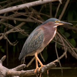 Green Heron by Betty Forsht - Novices Only Wildlife