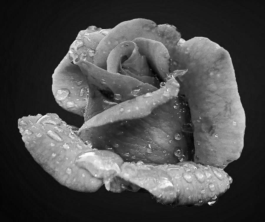 V13 by Abdul Rehman - Black & White Flowers & Plants (  )