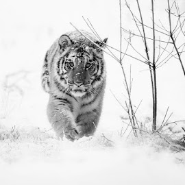 I'm going by Karel Götz - Animals Lions, Tigers & Big Cats
