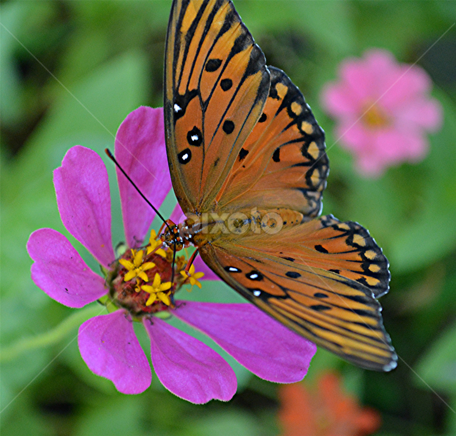 In zinnia garden by Raymond Earl Eckert - Flowers Single Flower ( zinnia; single; flower; garden; morning; butterfly,  )