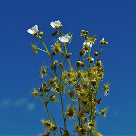 Sun Dew by Sarah Harding - Novices Only Flowers & Plants ( plant, nature, outdoors, novices only, flower )