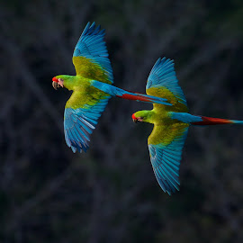 by Mark Stackhouse - Animals Birds ( blue, parrots, flying, macaw, birds )
