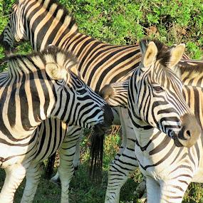 by Geraldine Angove - Animals Other Mammals
