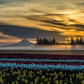Sunrise over Mt Hood and tulip fields by Chris Bartell - Landscapes Sunsets & Sunrises ( oregon, tulip festival, tulips, spring, woodburn )
