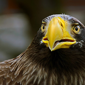 Where hawks dare by Mladjan Pajkic - Animals Birds