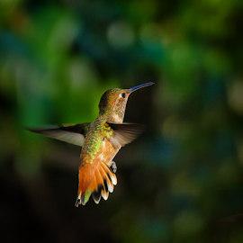 Allen's Hummingbird 1170102 by Ken Wade - Animals Birds ( allen's hummingbird, selasphorus sasin, birds in flight )
